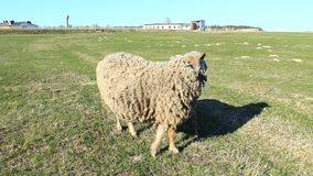 Sheep grazes on the grass stock footage