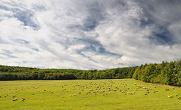 Sheep grazes in a meadow Stock Image
