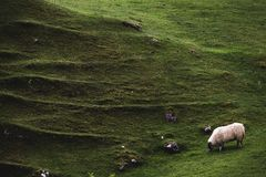 A sheep grazes beside one of the mounds in Fairy Glen, Isle of S. A sheep grazes bee one of the mounds in Fairy Glen, Isle of Skye, Scotland, with distinctive Stock Images