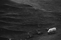 A sheep grazes beside one of the mounds in Fairy Glen, Isle of S. Kye, Scotland, with distinctive ridges and markings in the earth. Black and white Royalty Free Stock Photography