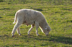 Sheep grazing on Royalty Free Stock Images