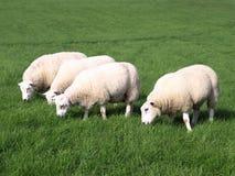 Sheep Grazing. Woolly Sheep Grazing in a Green Field Stock Photos