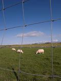 Sheep grazing. Sheep grazing on fenced pasture land Royalty Free Stock Photos