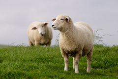 Sheep grazing. Two sheep graze in a field in Sussex, England Stock Image