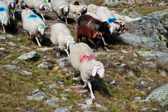 Sheep grazing. On alpine mountains in Val Senales Stock Photography