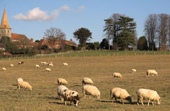 Sheep grazing. Jacob and other sheep grazing on a field near the village church Royalty Free Stock Image