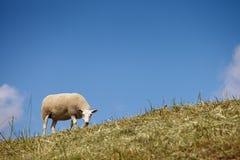 Sheep grazing Stock Image