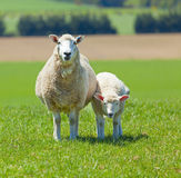 Sheep Grazing. Image of sheep grazing in the fields of New Zealand stock images
