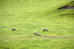 Sheep grazing. Stock Photos