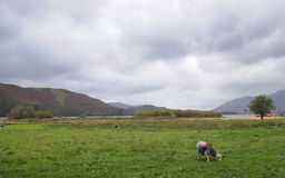 Sheep grazing. In the Lake District England Stock Image