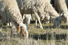 Sheep grazing. Stock Images
