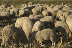 Sheep grazing. On the plains in winter, after the return of transhumance Stock Photography