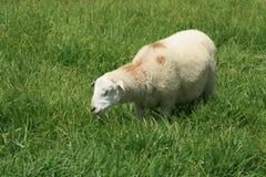 Sheep Grazing Royalty Free Stock Photos
