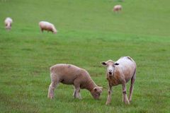 Free Sheep Grazing Royalty Free Stock Images - 30223529