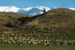 Sheep grazing. In winter Stock Photography