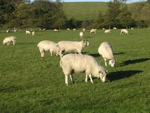 Sheep Grazing. Stock Image
