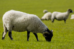 Sheep grazing. In a field Royalty Free Stock Photo