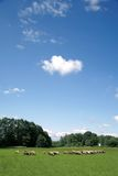 Sheep grazing. In green field with heart shaped cloud in the sky Stock Photography