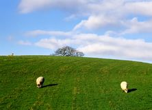 Sheep grazing. In an English field Stock Photography