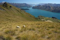Sheep grazing above lake Wanaka Royalty Free Stock Image