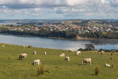 Sheep grazing above New Zealand coast Stock Image