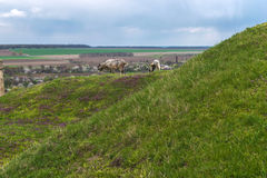 Sheep grazing along the river and near the castle wall Royalty Free Stock Photography