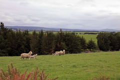 Sheep grazing along the roads Royalty Free Stock Photos