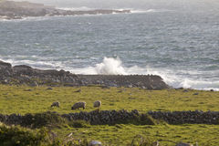 Sheep grazing along the shore next to The Burren Loop Stock Photo