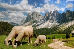 Sheep grazing in alpine field royalty free stock images