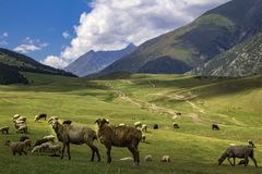 Sheep grazing in the alpine meadows in the mountains stock photo