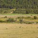 Sheep grazing in Araucania, Chile Stock Images