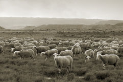 Sheep grazing at Bardenas desert Royalty Free Stock Image