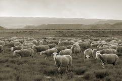 Sheep grazing at Bardenas desert. Some sheep grazing at Bardenas desert, sepia toned Royalty Free Stock Image