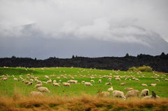 Sheep grazing in beautiful Green meadows. Royalty Free Stock Image