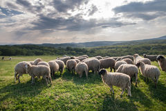 Sheep grazing on beautiful mountain meadow Royalty Free Stock Image
