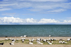 Sheep grazing by blue lake Royalty Free Stock Images