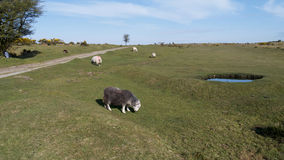 Sheep grazing on Bodmin Moor. View across the open moorland of Bodmin Moor, Cornwall, UK. Showing Sheep a farm track and a small pond Stock Image
