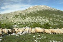 Sheep grazing in Bosnia and Herzegovina. Sheep grazing in mountains in Bosnia and Herzegovina Royalty Free Stock Photography