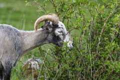 Sheep grazing Royalty Free Stock Photo