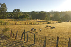 Sheep grazing in Chile Royalty Free Stock Image