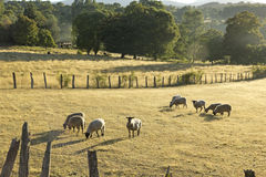Sheep grazing in Chile Royalty Free Stock Photos