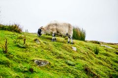 Sheep Grazing on the Cliffs Royalty Free Stock Photography