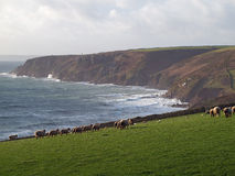 Sheep Grazing On Cliffs in Cornwall. Sheep graze on the cliffs high above the Atlantic ocean near Trewavas Head a few miles west of Porthleven in Cornwall Stock Image
