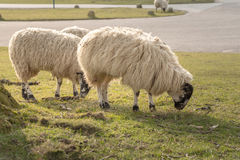 Sheep grazing. Close up Sheep grazing on Grass Field Royalty Free Stock Image