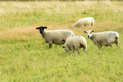 Sheep grazing in Cornwall Stock Image