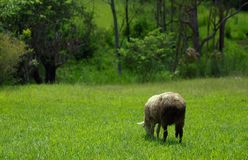 Sheep grazing country pasture Stock Photos