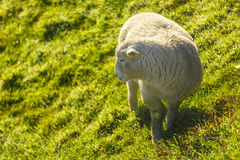 The Sheep grazing at dawn. Sheep standing in a field at down Royalty Free Stock Images