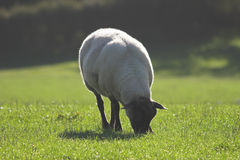 Sheep grazing on dewy grass. Lone sheep grazing early morning on dewy grass Royalty Free Stock Photo