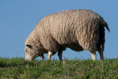 Sheep grazing on a dike. This sheep is grazing on a dike. He stand on the grass with a blue sky Stock Images