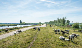 Sheep grazing on a dike Royalty Free Stock Photo
